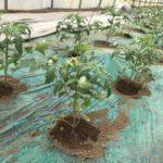 佐倉 甘くておいしい大きいトマト 岸さんちの栽培日誌 1