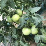佐倉 甘くておいしい大きいトマト 岸さんちの栽培日誌 3
